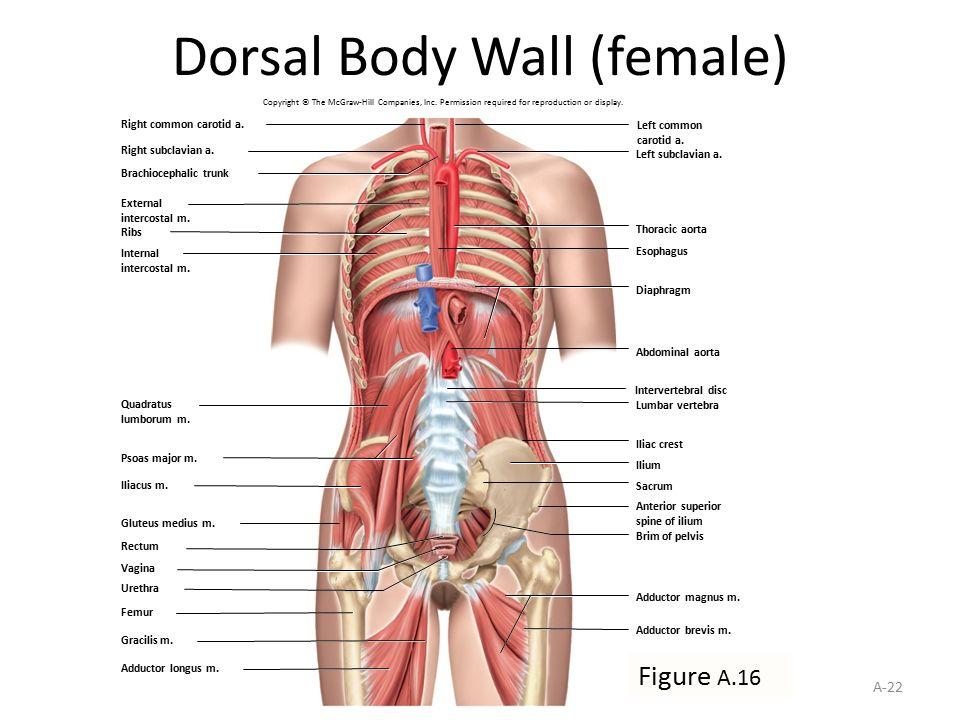 Female Human Anatomy Appendix Dinocrofo