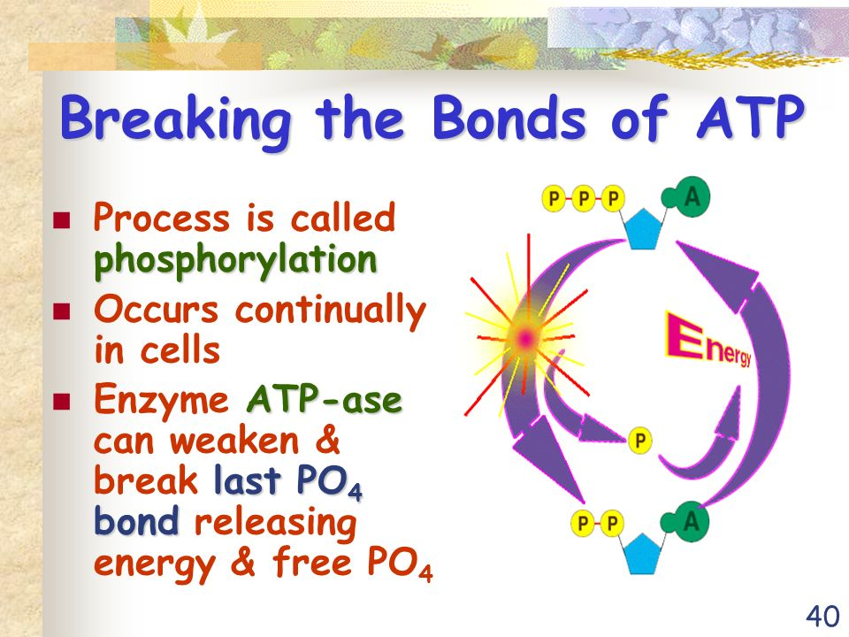 40 Breaking the Bonds of ATP phosphorylation Process is called phosphorylation Occurs continually in cells ATP-ase last PO 4 bond Enzyme ATP-ase can weaken & break last PO 4 bond releasing energy & free PO 4