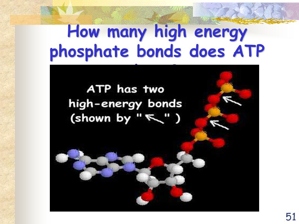 51 How many high energy phosphate bonds does ATP have