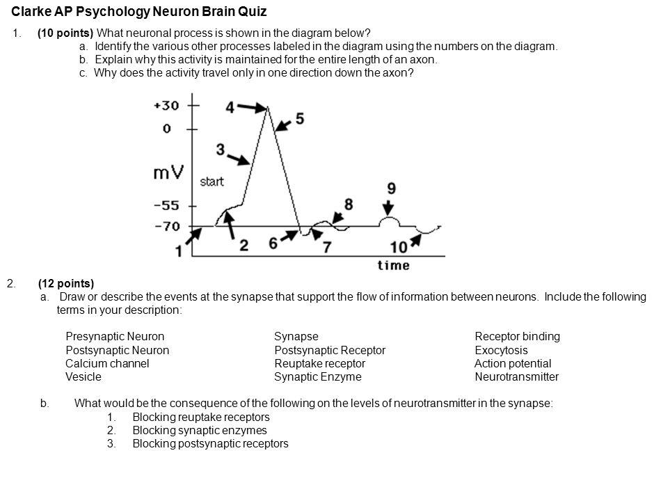 clarke ap psychology neuron brain quiz 1 10 points what neuronal  : neuron diagram quiz - findchart.co
