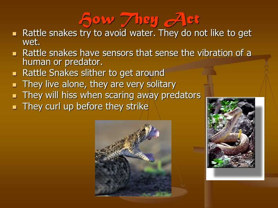 How They Act Rattle snakes try to avoid water.They do not like to get wet.