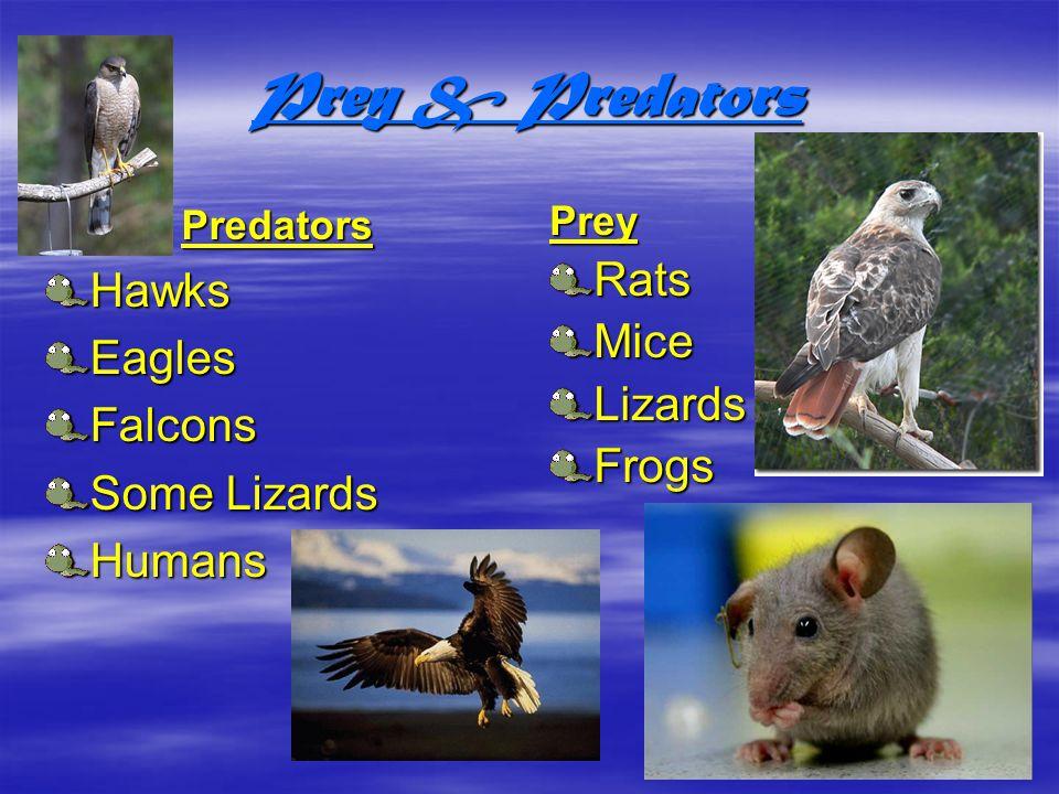 Prey & Predators Predators Hawks Eagles Falcons Some Lizards Humans Prey Rats Mice Lizards Frogs