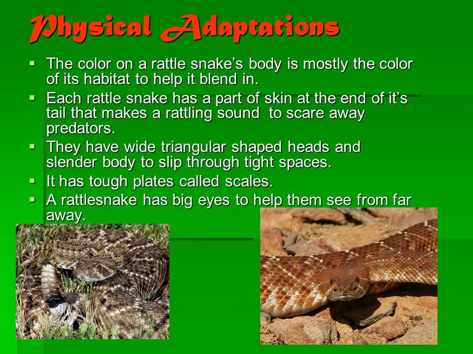 Physical Adaptations  The color on a rattle snake's body is mostly the color of its habitat to help it blend in.