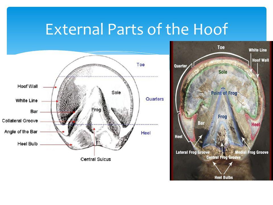 Anatomy of the horse hoof 2512889 - togelmaya.info