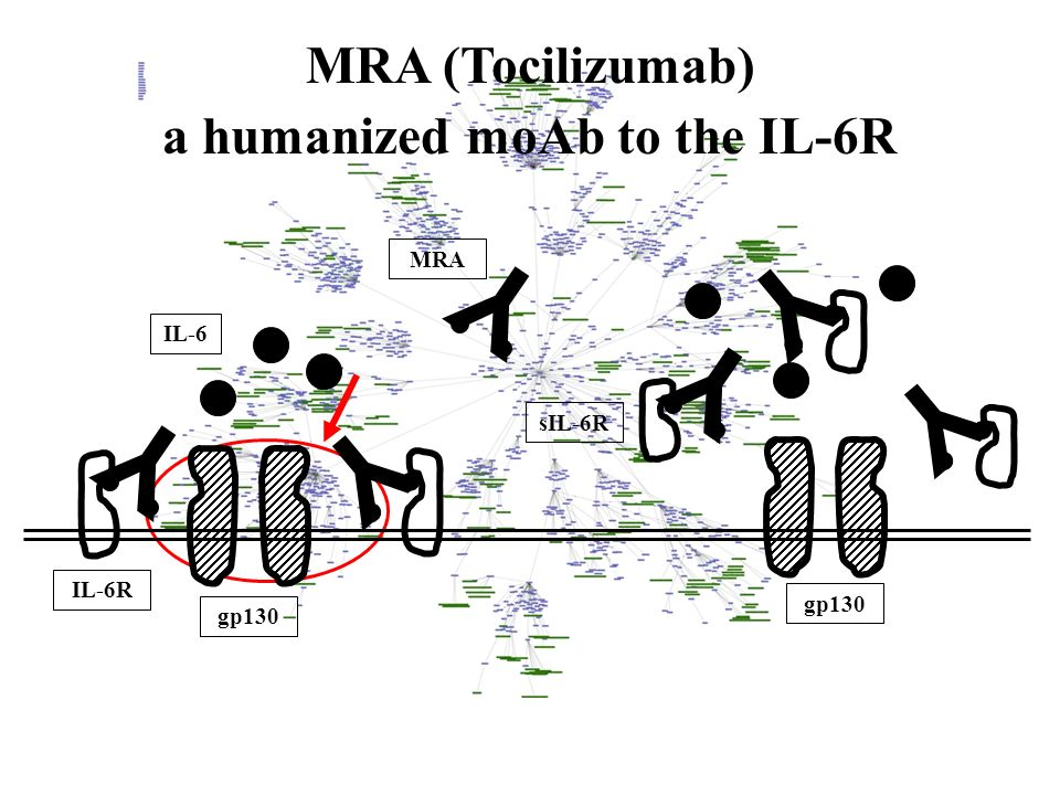 IL-6 IL-6R gp130 sIL-6R MRA (Tocilizumab) a humanized moAb to the IL-6R Y Y Y Y Y Y MRA gp130