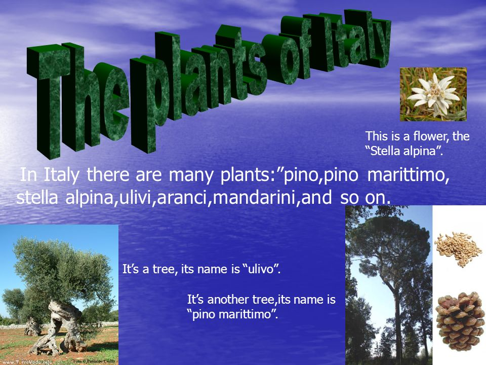 In Italy there are many plants:pino,pino marittimo, stella alpina,ulivi,aranci,mandarini,and so on.