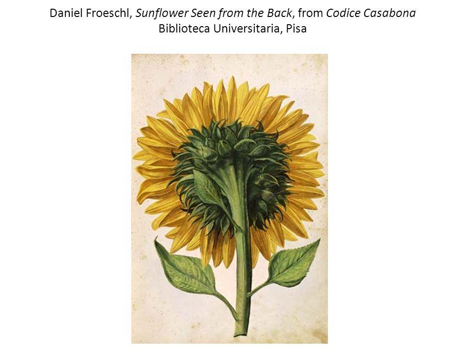Daniel Froeschl, Sunflower Seen from the Back, from Codice Casabona Biblioteca Universitaria, Pisa