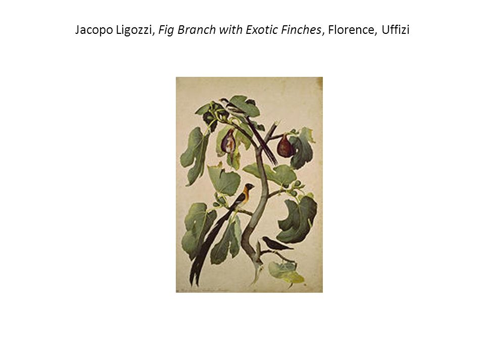 Jacopo Ligozzi, Fig Branch with Exotic Finches, Florence, Uffizi