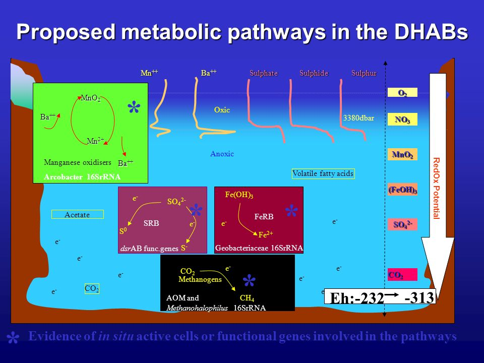 Proposed metabolic pathways in the DHABs 3380dbar e-e- e-e- e-e- e-e- e-e- e-e- e-e- e-e- e-e- Volatile fatty acids CO 2 Mn ++ Ba ++ SulphateSulphideSulphur Oxic Anoxic Acetate RedOx Potential NO 3 MnO 2 (FeOH) 3 SO 4 2- CO 2 O2O2O2O2 Eh:-232 -313 * Evidence of in situ active cells or functional genes involved in the pathways e-e- e-e- CO 2 CH 4 Methanogens * AOM and Methanohalophilus 16SrRNA SO 4 2- S-S- S0S0 SRB e-e- e-e- * dsrAB func.genes Fe(OH) 3 Fe 2+ FeRB e-e- * Geobacteriaceae 16SrRNA MnO 2 Mn 2+ Ba ++ Manganese oxidisers * Arcobacter 16SrRNA
