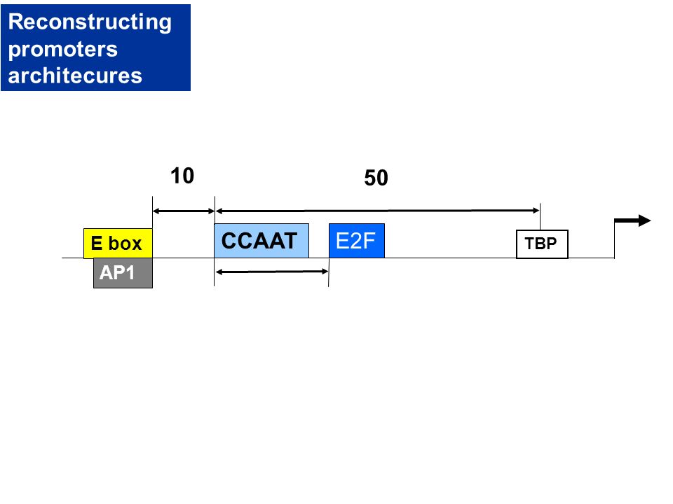 E box CCAAT 10 TBP 50 AP1 E2F Reconstructing promoters architecures