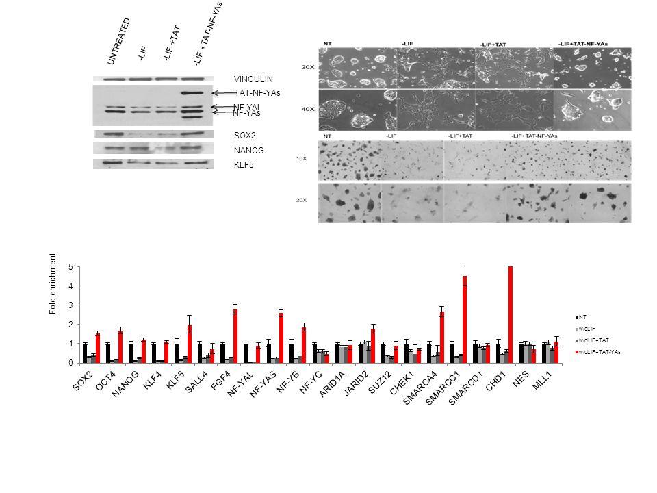 VINCULIN SOX2 NANOG KLF5 UNTREATED -LIF -LIF +TAT -LIF +TAT-NF-YAs Fold enrichment NF-YAs TAT-NF-YAs NF-YAl