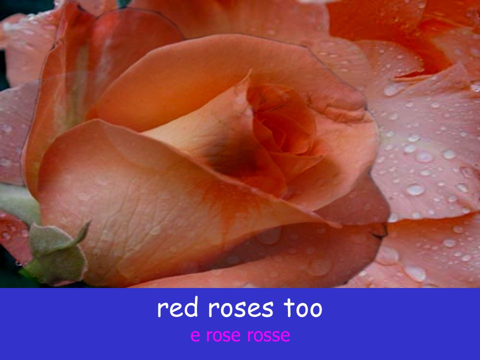 red roses too e rose rosse