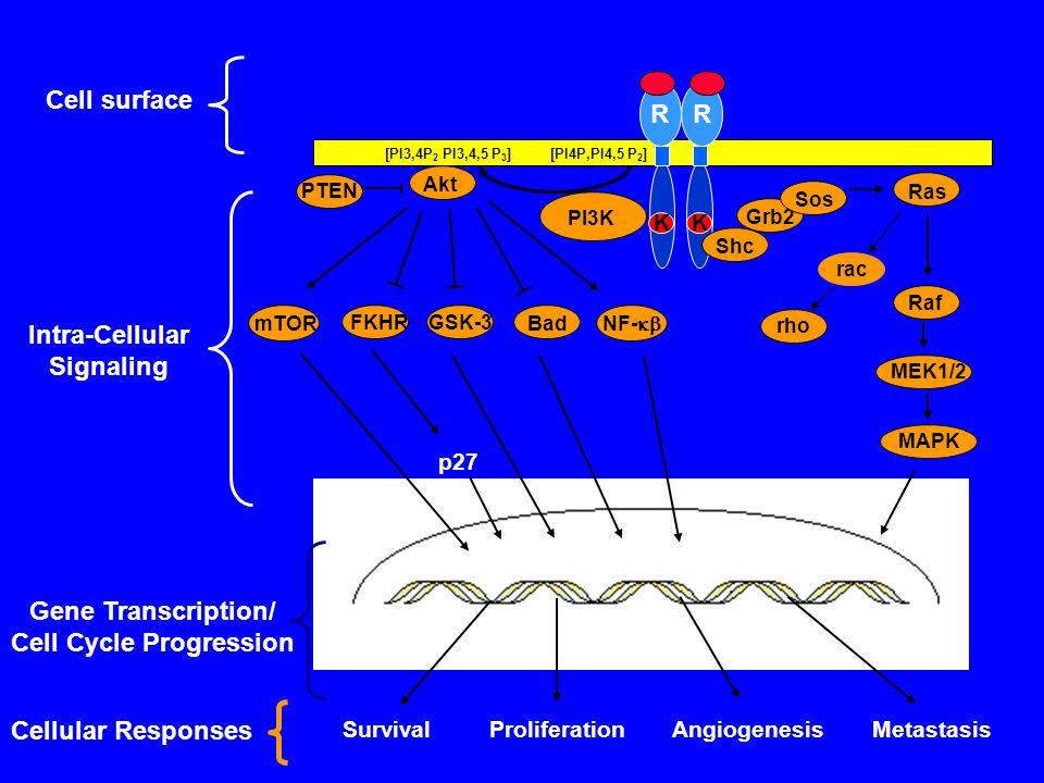 R K R K Cell surface SurvivalProliferationAngiogenesisMetastasis Cellular Responses PI3K Shc Grb2 Ras Sos Raf MEK1/2 Akt MAPK PTEN GSK-3 mTOR FKHR Bad