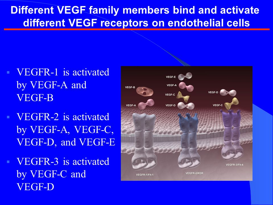 VEGFR-1 is activated by VEGF-A and VEGF-B VEGFR-2 is activated by VEGF-A, VEGF-C, VEGF-D, and VEGF-E VEGFR-3 is activated by VEGF-C and VEGF-D Different VEGF family members bind and activate different VEGF receptors on endothelial cells