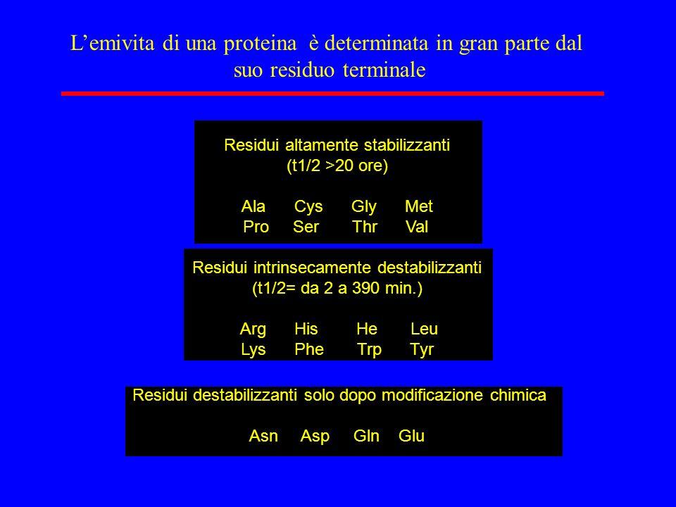 Lemivita di una proteina è determinata in gran parte dal suo residuo terminale Residui altamente stabilizzanti (t1/2 >20 ore) Ala Cys Gly Met Pro Ser