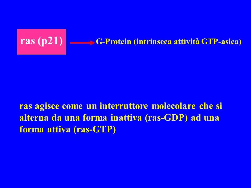 ras (p21) G-Protein (intrinseca attività GTP-asica) ras agisce come un interruttore molecolare che si alterna da una forma inattiva (ras-GDP) ad una f