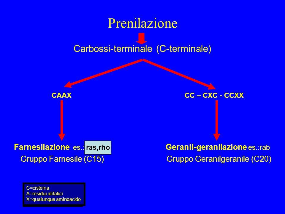 Prenilazione Carbossi-terminale (C-terminale) CAAX CC – CXC - CCXX Farnesilazione es.: ras,rho Geranil-geranilazione es.:rab C=cisteina A=residui alif