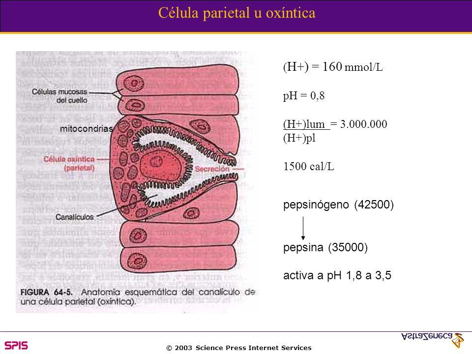 Célula parietal u oxíntica ( H+) = 160 mmol/L pH = 0,8 (H+)lum = 3.000.000 (H+)pl 1500 cal/L mitocondrias pepsinógeno (42500) pepsina (35000) activa a pH 1,8 a 3,5