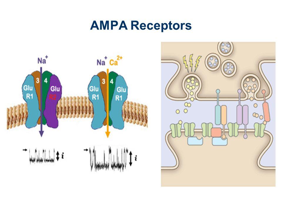 AMPA Receptors