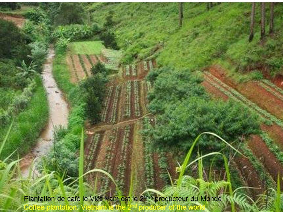 Terrasses et cultures Terraced fields in Đà Lt