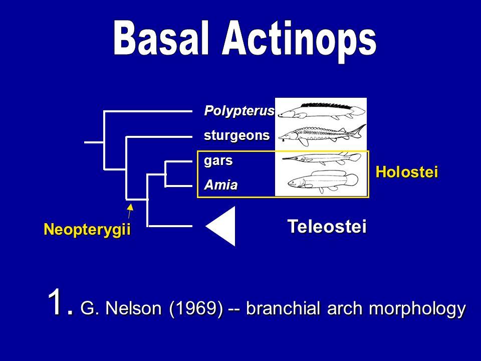 Amia gars sturgeons Polypterus Teleostei Holostei 1. G. Nelson (1969) -- branchial arch morphology Neopterygii