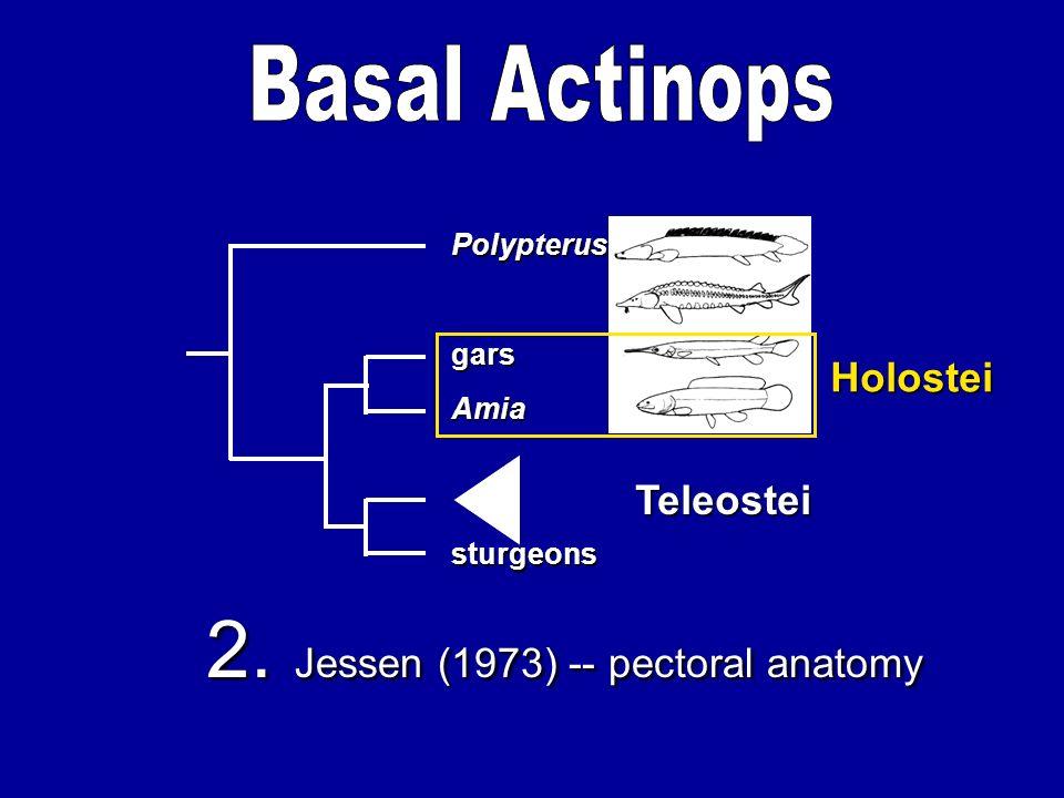 Amia gars sturgeons Polypterus Teleostei Holostei 2. Jessen (1973) -- pectoral anatomy