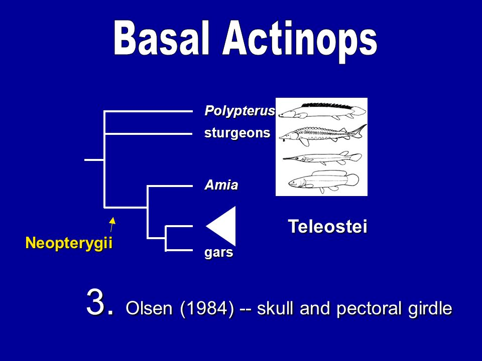3. Olsen (1984) -- skull and pectoral girdle Amia gars sturgeons Polypterus Teleostei Neopterygii