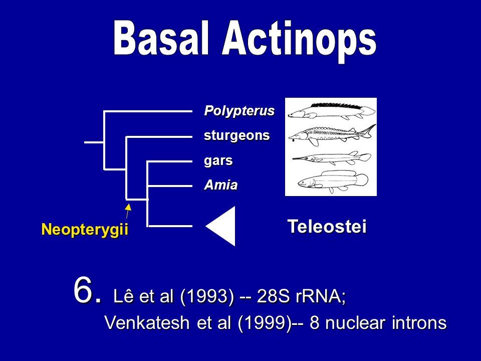 Amia gars sturgeons Polypterus Teleostei 6. Lê et al (1993) -- 28S rRNA; Venkatesh et al (1999)-- 8 nuclear introns Venkatesh et al (1999)-- 8 nuclear