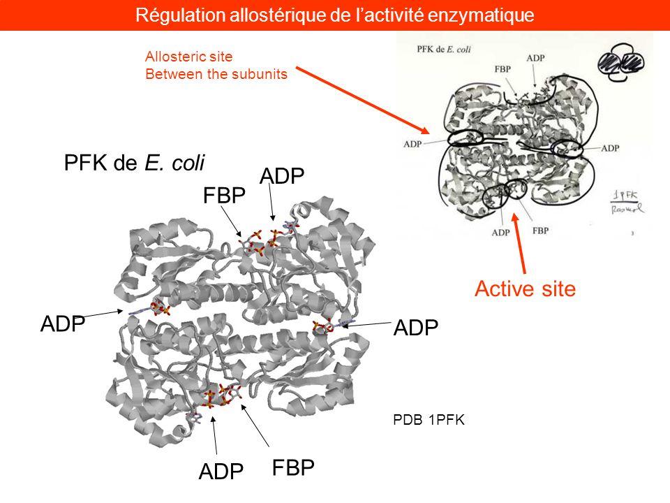 PFK de E. coli ADP FBP PDB 1PFK Active site Allosteric site Between the subunits Régulation allostérique de lactivité enzymatique