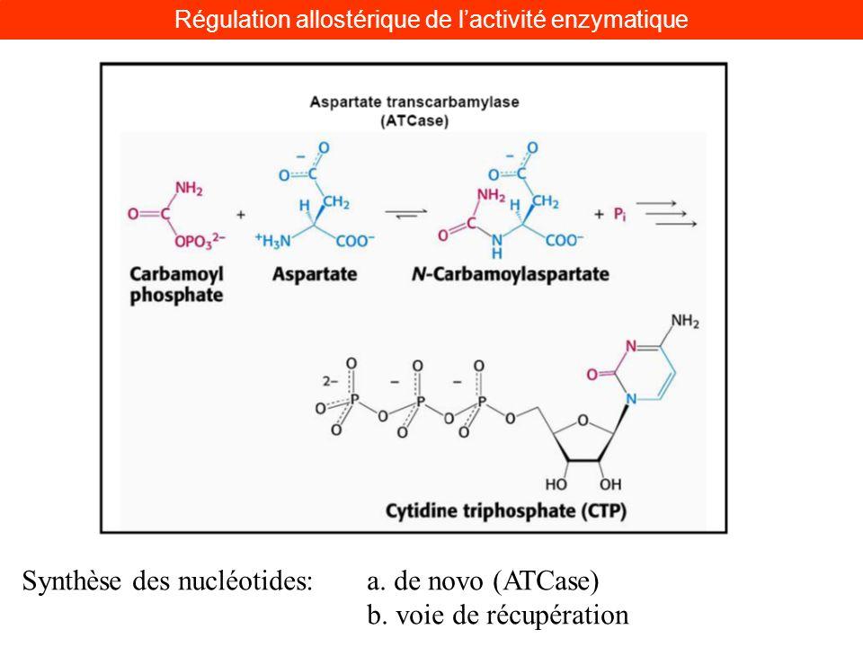Synthèse des nucléotides: a. de novo (ATCase) b. voie de récupération Régulation allostérique de lactivité enzymatique