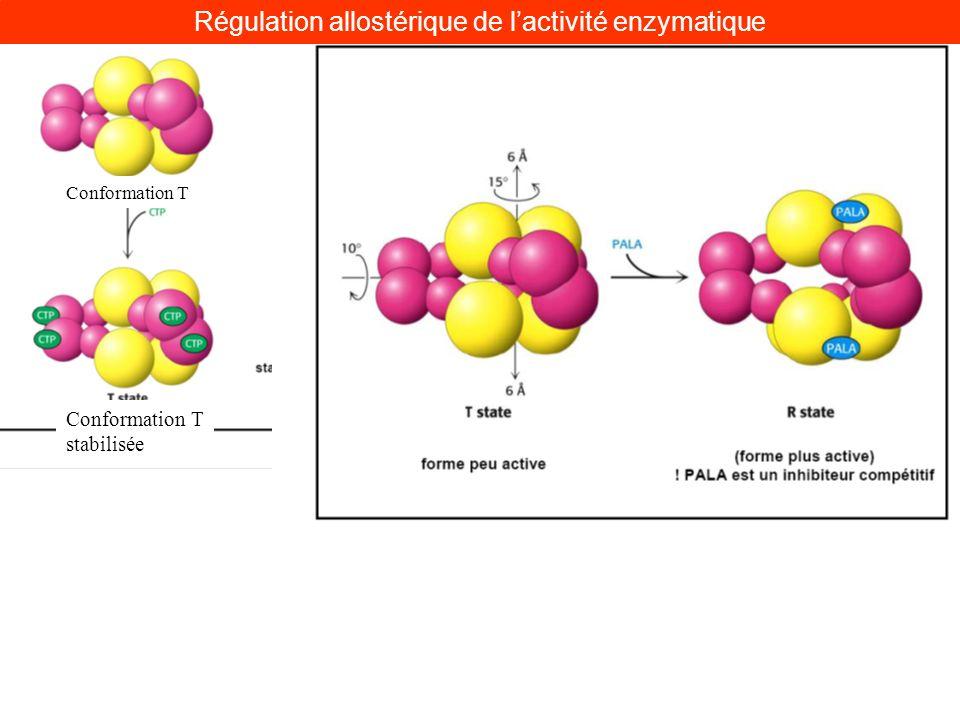 Conformation T stabilisée Conformation T Régulation allostérique de lactivité enzymatique