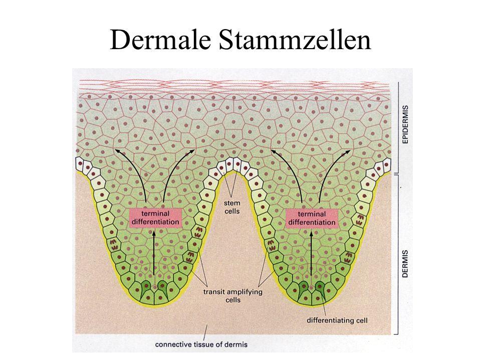 Dermale Stammzellen
