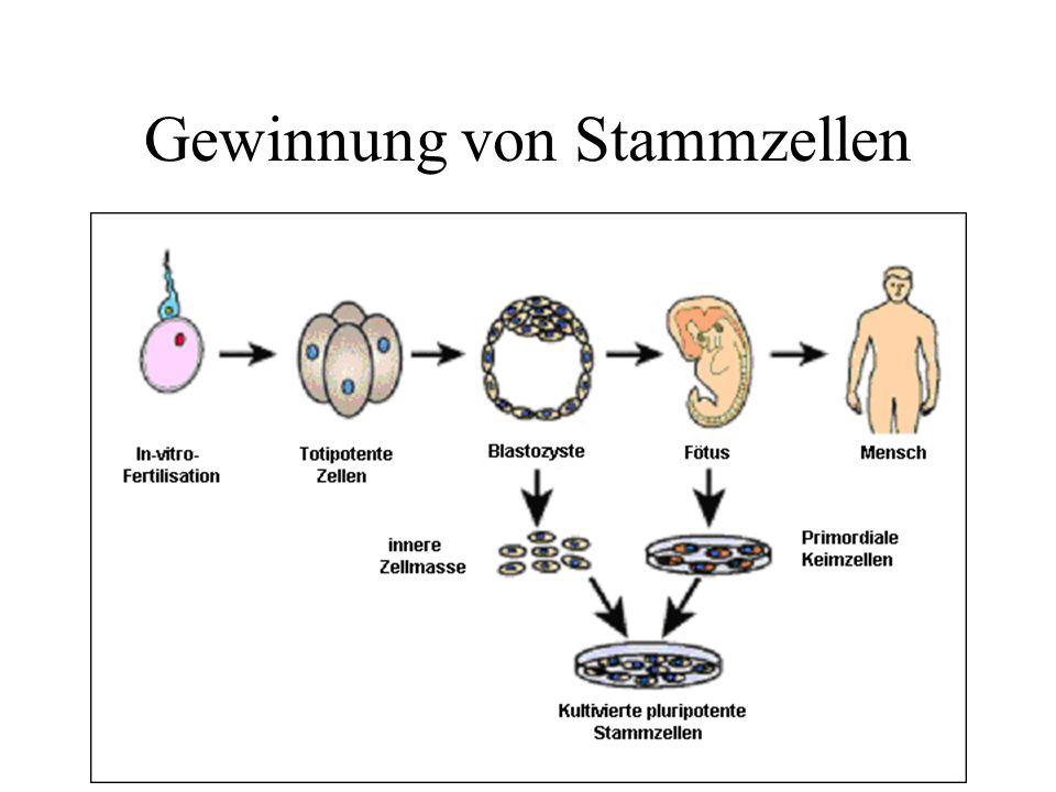 Gewinnung von Stammzellen