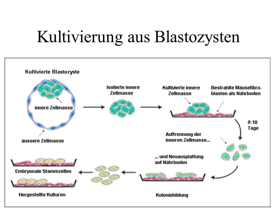 Kultivierung aus Blastozysten
