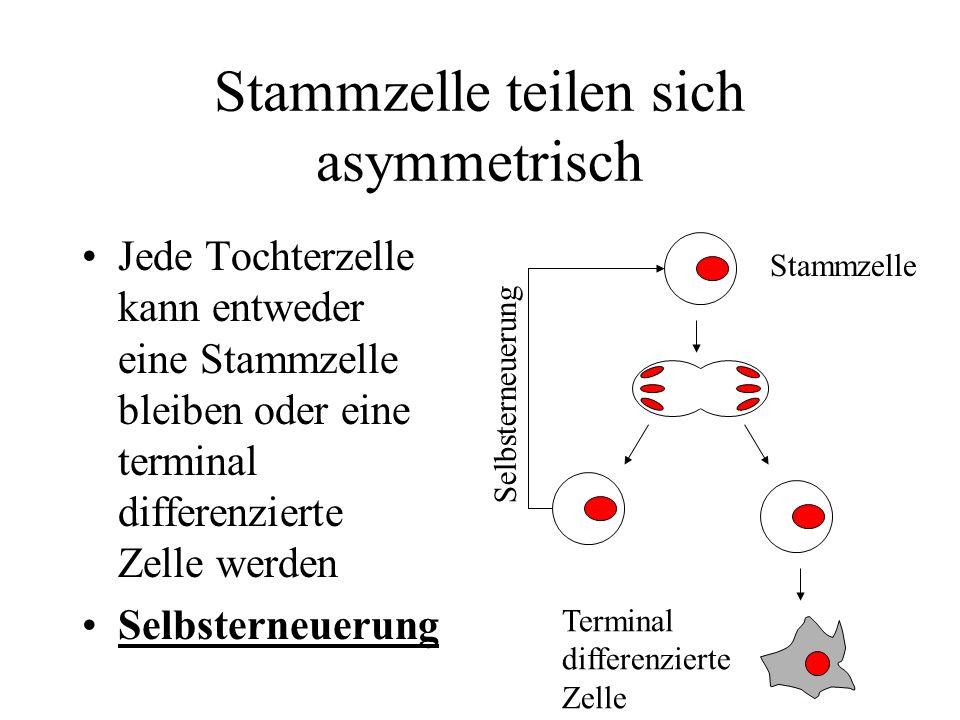 Asymmetrie durch Umgebung Tochterzellen initial sehr ähnlich Umgebung beeinflusst Entwicklung Anzahl der Zellen kann der biologischen Nische rasch angepasst werden Stammzelle Selbsterneuerung