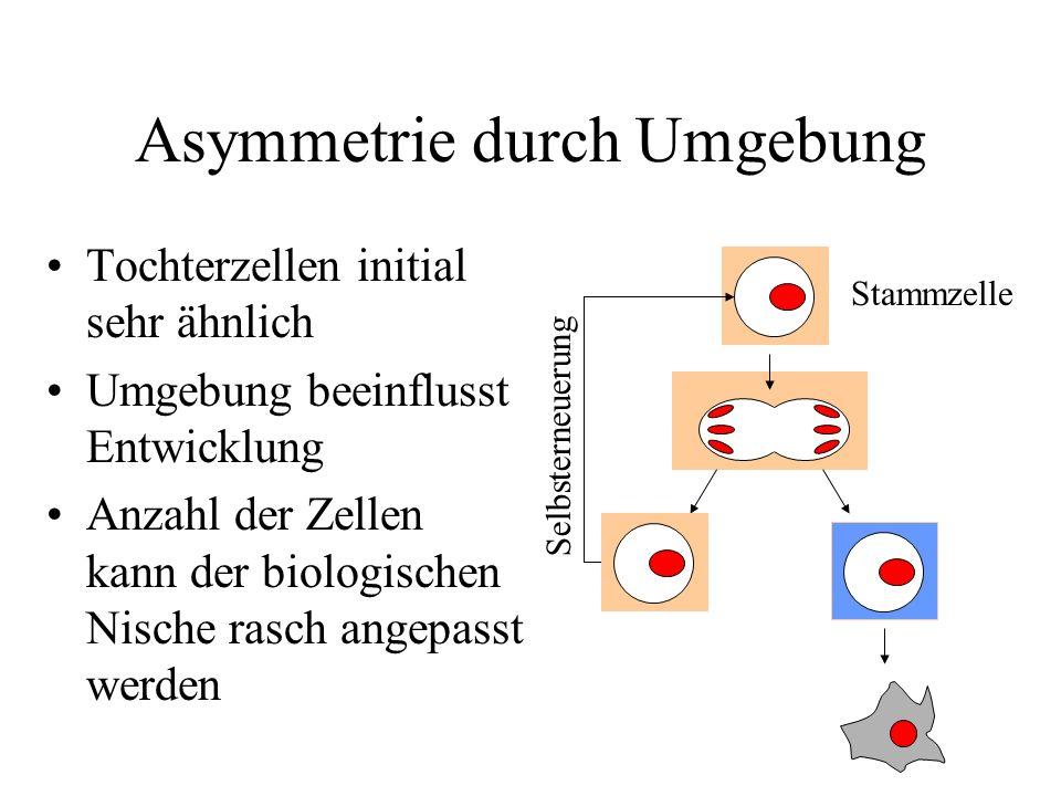 Asymmetrie durch Umgebung Tochterzellen initial sehr ähnlich Umgebung beeinflusst Entwicklung Anzahl der Zellen kann der biologischen Nische rasch ang
