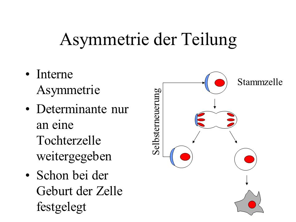 Asymmetrie der Teilung Interne Asymmetrie Determinante nur an eine Tochterzelle weitergegeben Schon bei der Geburt der Zelle festgelegt Stammzelle Sel