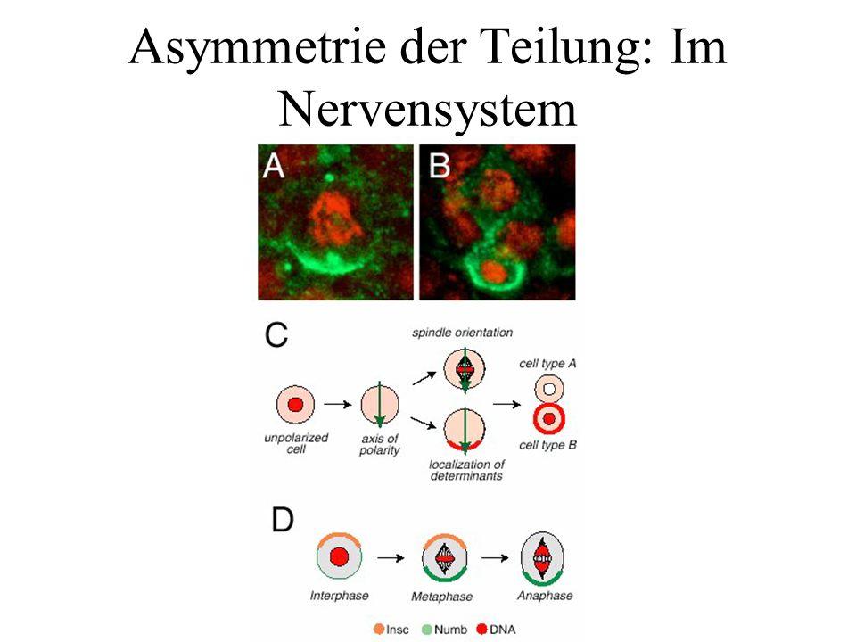 Intestinale Stammzellen