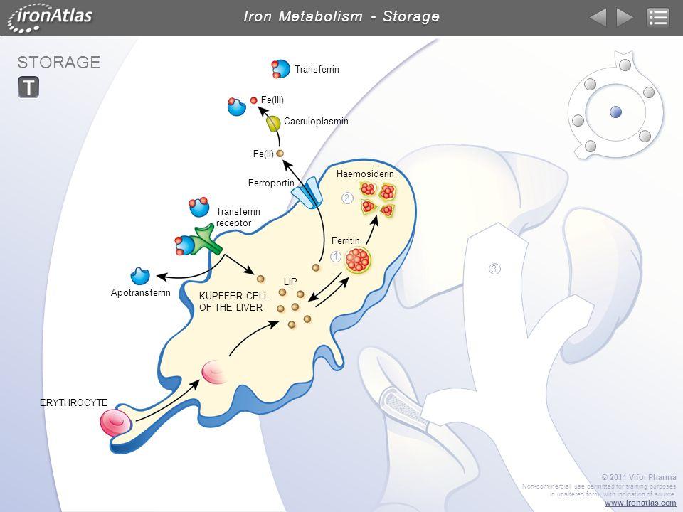 STORAGE Iron Metabolism - Storage Caeruloplasmin Transferrin Ferroportin Haemosiderin Ferritin Fe(III) Fe(II) LIP Transferrin receptor Apotransferrin