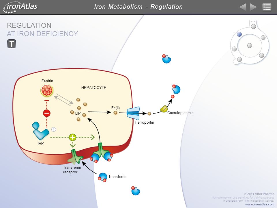 REGULATION AT IRON DEFICIENCY Iron Metabolism - Regulation © 2011 Vifor Pharma Non-commercial use permitted for training purposes in unaltered form wi