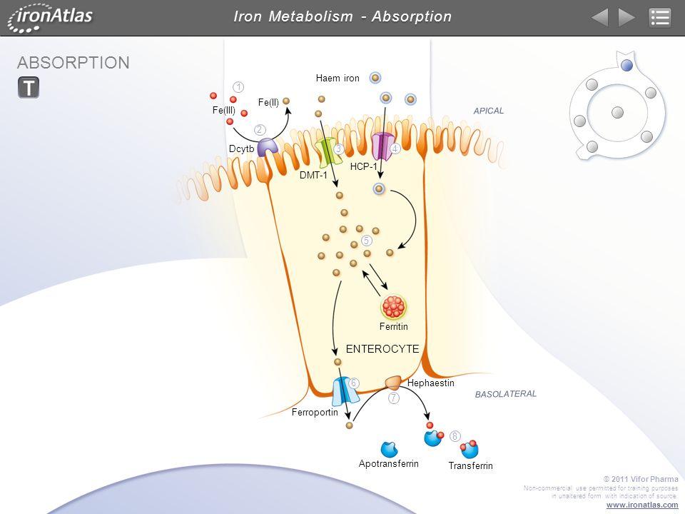 ABSORPTION Iron Metabolism - Absorption ENTEROCYTE APICAL BASOLATERAL DMT-1 Dcytb Transferrin Hephaestin Ferroportin HCP-1 Ferritin Fe(III) Fe(II) Hae