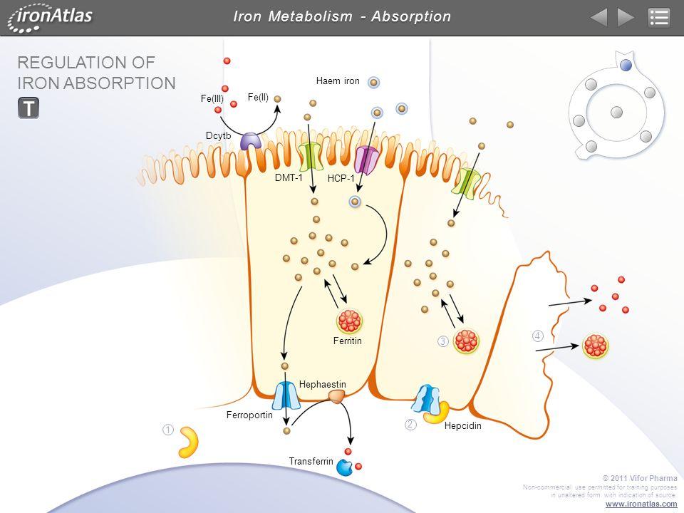 Iron Metabolism - Absorption REGULATION OF IRON ABSORPTION DMT-1 Dcytb Transferrin Hephaestin Ferroportin HCP-1 Ferritin Fe(III) Fe(II) Haem iron Hepc