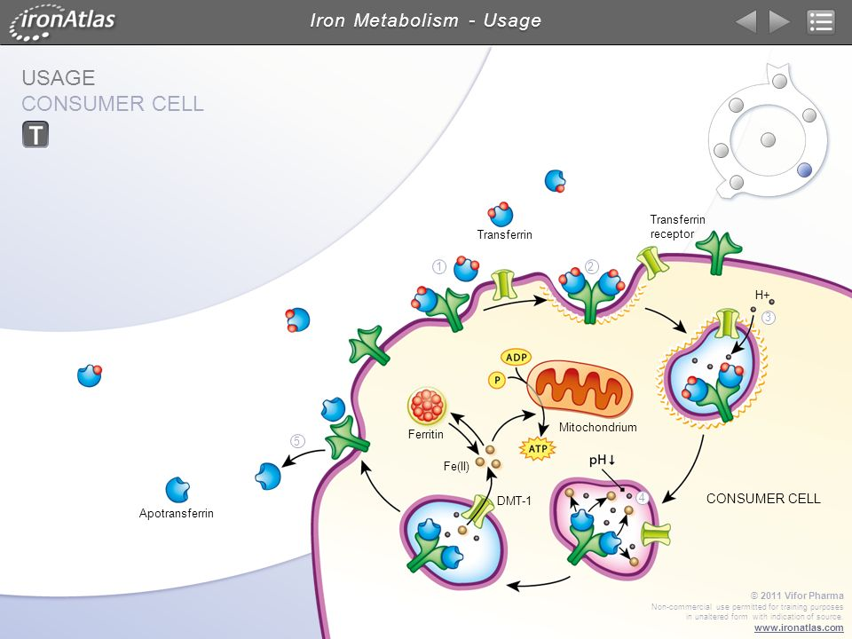 USAGE CONSUMER CELL Iron Metabolism - Usage © 2011 Vifor Pharma Non-commercial use permitted for training purposes in unaltered form with indication o