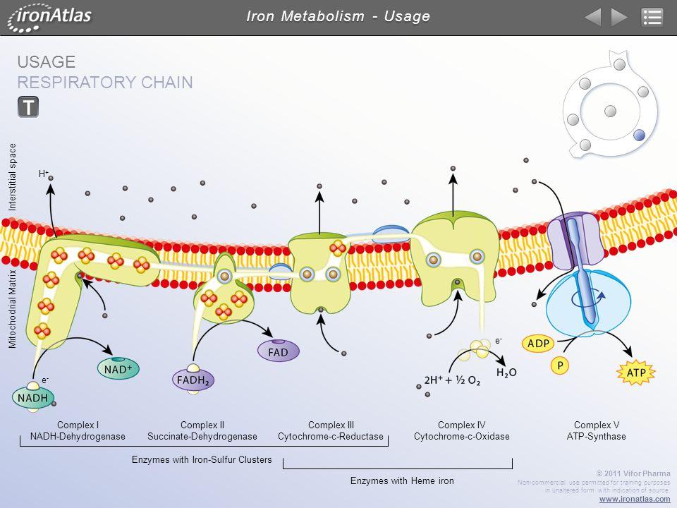 USAGE RESPIRATORY CHAIN Iron Metabolism - Usage Complex III Cytochrome-c-Reductase Complex I NADH-Dehydrogenase Complex II Succinate-Dehydrogenase Com
