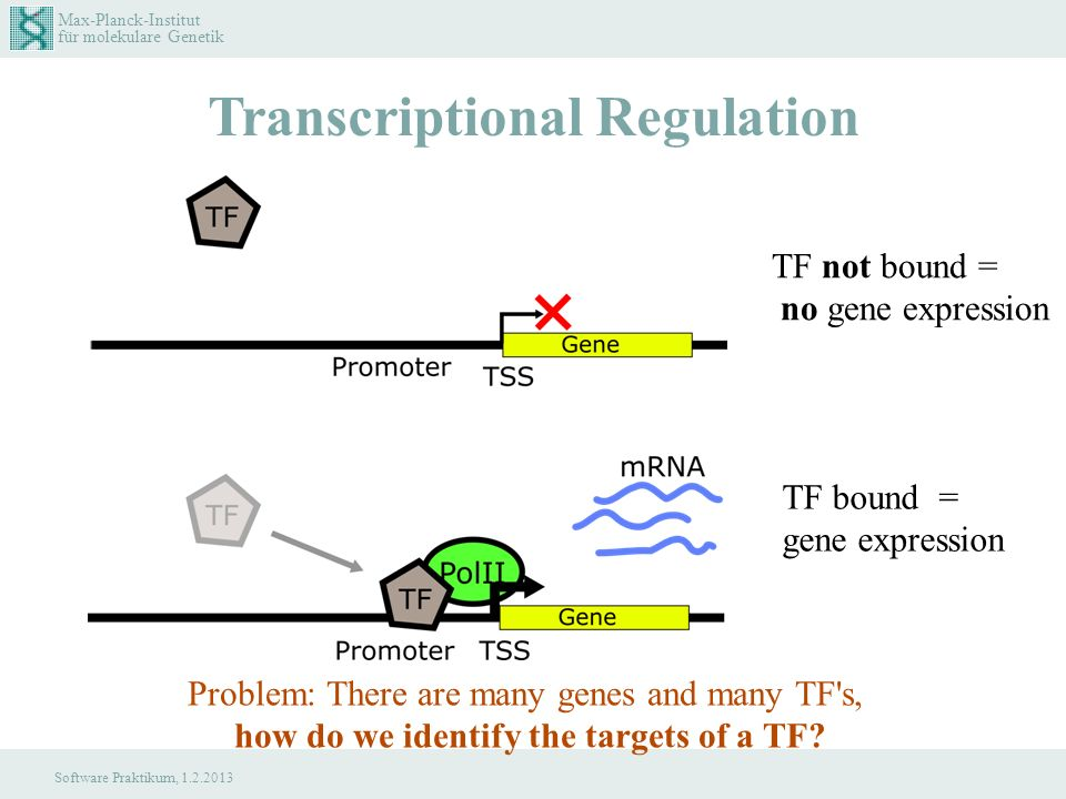 Max-Planck-Institut für molekulare Genetik Software Praktikum, 1.2.2013 Transcriptional Regulation TF not bound = no gene expression TF bound = gene expression Problem: There are many genes and many TF s, how do we identify the targets of a TF?