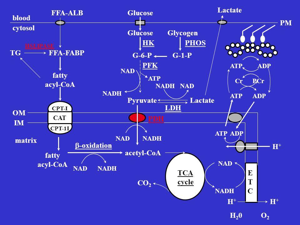 GlucoseFFA-ALB Glycogen G-6-PG-1-P blood cytosol FFA-FABPTG PyruvateLactate Glucose PHOSHK fatty acyl-CoA CAT CPT-I CPT-1I PDH fatty acyl-CoA acetyl-C