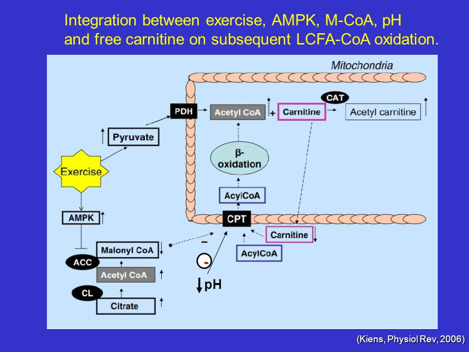 (Kiens, Physiol Rev, 2006) Integration between exercise, AMPK, M-CoA, pH and free carnitine on subsequent LCFA-CoA oxidation. pH -