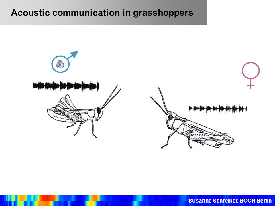 Acoustic communication in grasshoppers Susanne Schreiber, BCCN Berlin