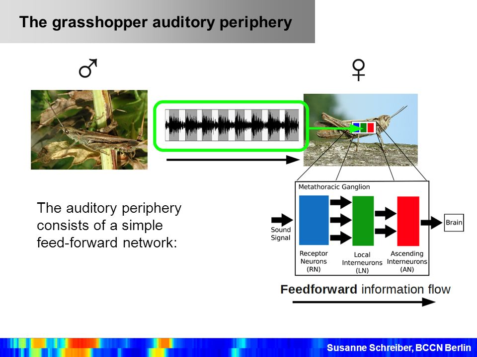 The grasshopper auditory periphery Susanne Schreiber, BCCN Berlin The auditory periphery consists of a simple feed-forward network: