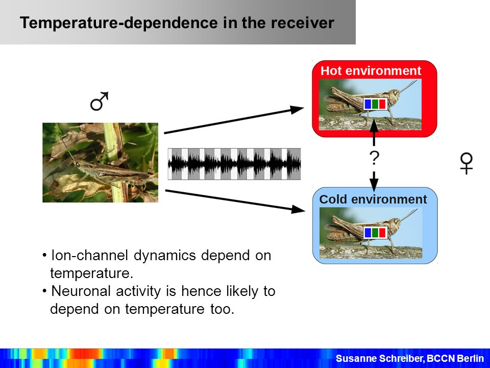 Susanne Schreiber, BCCN Berlin Temperature-dependence in the receiver Ion-channel dynamics depend on temperature. Neuronal activity is hence likely to
